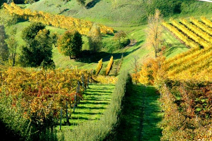 Prosecco DOCG vineyards in Feletto